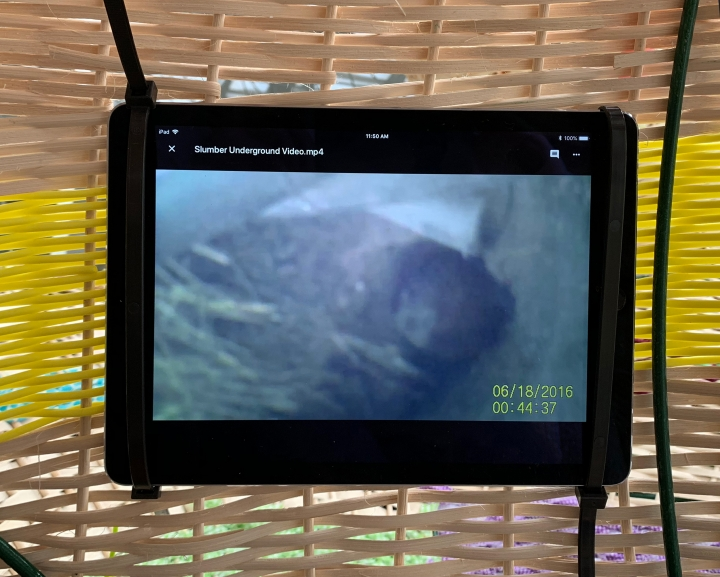 Video shot inside groundhog burrows with an arthoscopic camera